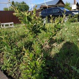 Рассада, саженцы, кустарники, деревья - Кизильник , 0
