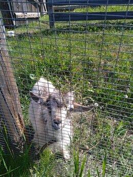 Сельскохозяйственные животные - Продам козочку и козлика , 0