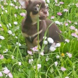 Собаки - щенки чихуахуа с род. РКФ, 0