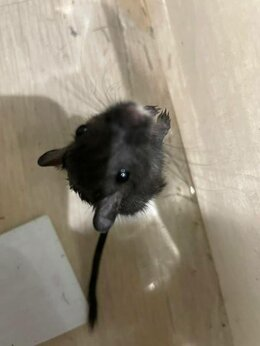 Грызуны - мышка песчанка, 0