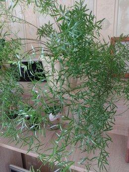 Комнатные растения - Аспарагус, 0
