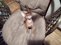Кошки - Абисинский мальчик , 0