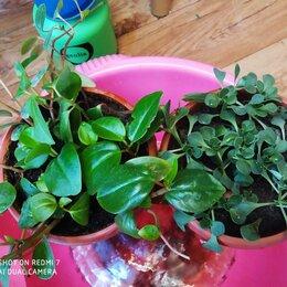 Комнатные растения - пеперония головатая и эониум очитколистный мелколистный, 0