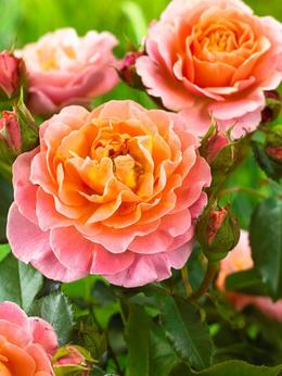 "Комнатные растения - Роза флорибунда ""Marie Curie"" (Мари Кюри)…, 0"