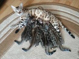 Кошки - Бенгальские котята, 0