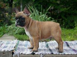 Собаки - Палевый француз, 0