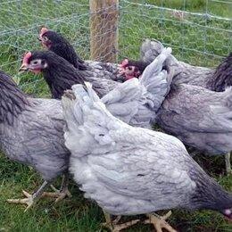 Птицы - Молодки  ( различных пород ), 0