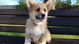 Собаки - Щенки Вельш-корги Пемброк, 0