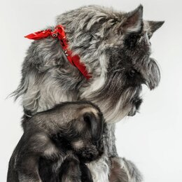 Собаки - Щенки миттельшнауцера, 0