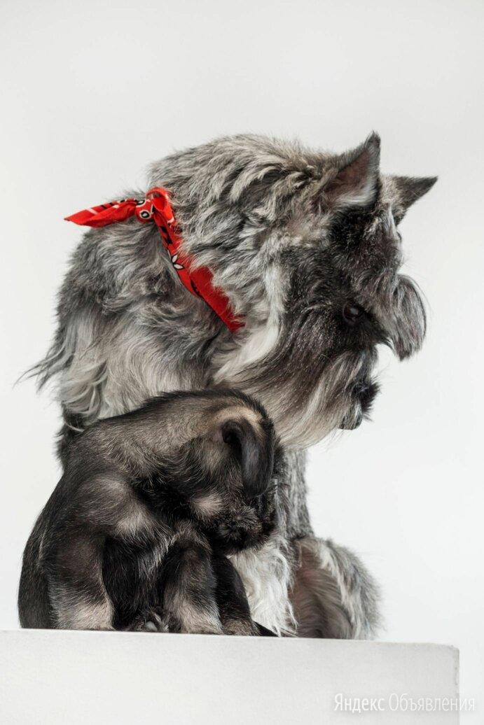 Щенки миттельшнауцера по цене 25₽ - Собаки, фото 0