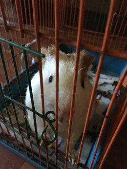 Грызуны - Морская свинка, 0