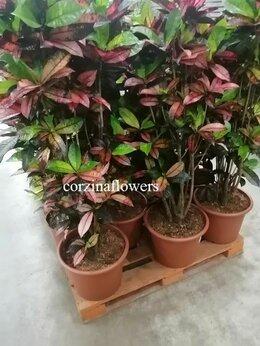 Комнатные растения - Кодиеум кротон Миссис Айстон бранч 130-150 см…, 0