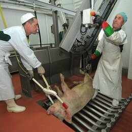 Рабочие - Забойщик скота, 0