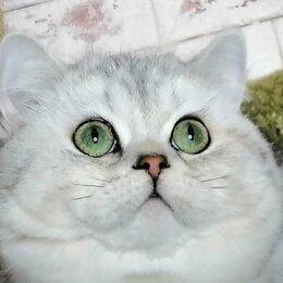 Услуги для животных - Кот на Вязку, 0