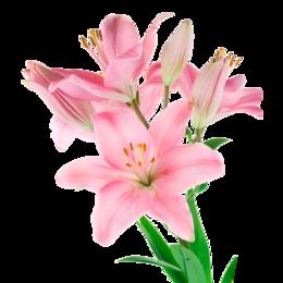 Луковичные растения - Флорико Лилия розовая (цена за штуку),  см, 0