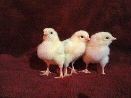Птицы - Цыплята, яйцо бройлера Кобб 500, Росс 308 Европа, 0
