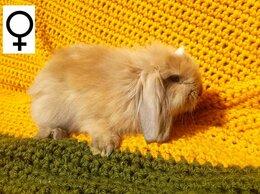 Кролики - Львиноголовый карликовый крольчонок, 0