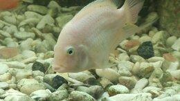 Аквариумные рыбки - Цихлазома фламинго (цихлида розовая фламинго), 0