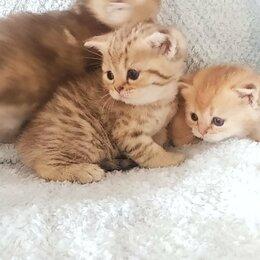 Кошки - Шиншилла ,золотая тикированная, 0