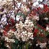 Рябина кашмирская и др. Саженцы по цене 1100₽ - Рассада, саженцы, кустарники, деревья, фото 0