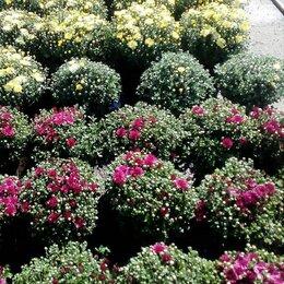 Рассада, саженцы, кустарники, деревья - черенки хризантемы , 0