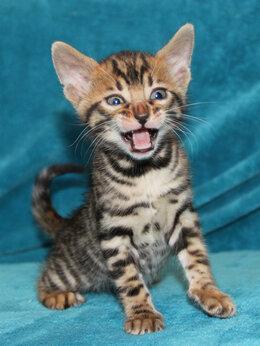 Кошки - Бенгальский комочек счастья , 0