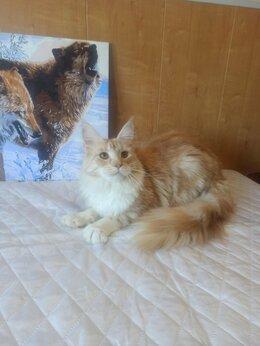 Кошки - Кошечка Мейн Кун, 0