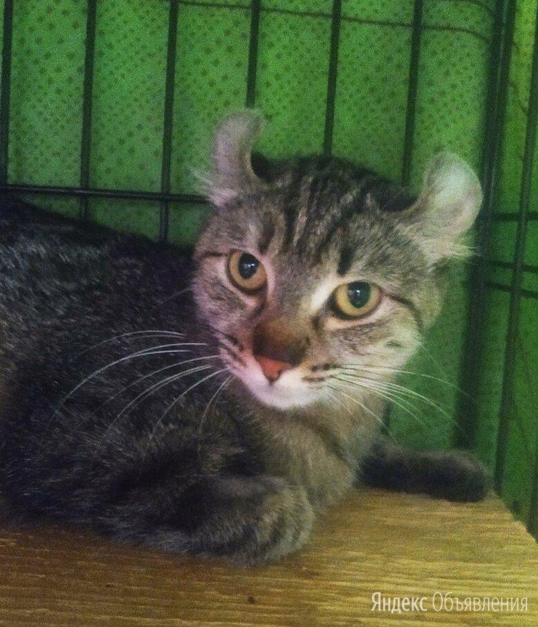 Кёрла, стерилизованаая по цене даром - Кошки, фото 0