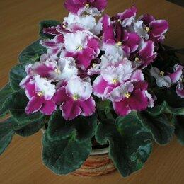 Комнатные растения - Фиалки Кримсон Айс, 0