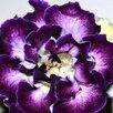 Глоксинии (излишки коллекции) по цене 30₽ - Комнатные растения, фото 17