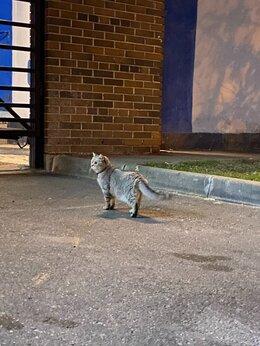 Животные - Найден серый кот у метро аэропорт, 0