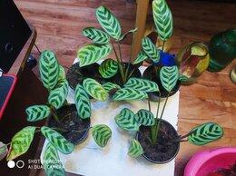 Комнатные растения - маранта беложильная ктенанта букле макси, 0