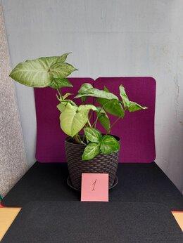 Комнатные растения - Сингониум, 0