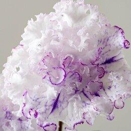 Комнатные растения - Махровый стрептокарпус новинка, 0