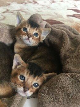 Кошки - Котята Абиссинцы, 0