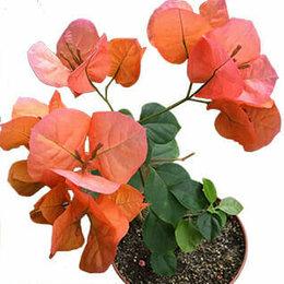 Комнатные растения - Бугенвиллия Bougainvillea Scarlet Glory Orange, 0