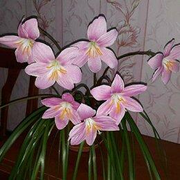 Комнатные растения - Зефирантес розовый., 0