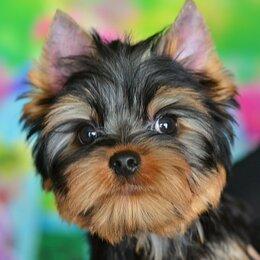 Собаки - Мальчишки йоркширского терьера РКФ, 0