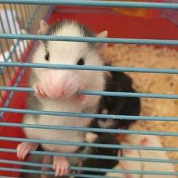 Грызуны - Декоративные крысы, 0