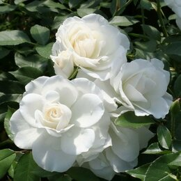 Рассада, саженцы, кустарники, деревья - Роза флорибунда Айсберг, 0