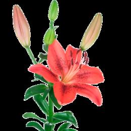 Луковичные растения - Флорико Лилия красная (цена за штуку),  см, 0