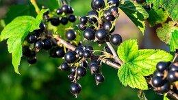 Рассада, саженцы, кустарники, деревья - Саженцы черной смородины по доступной цене в…, 0