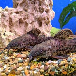 Аквариумные рыбки - Сомики Таракатум, 0