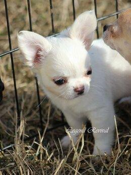 Собаки - Мини чихуахуа, 0