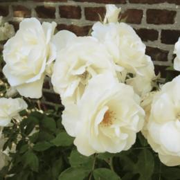 """Комнатные растения - Роза флорибунда """"Schneewittchen"""" (Шнеевитхен)…, 0"""