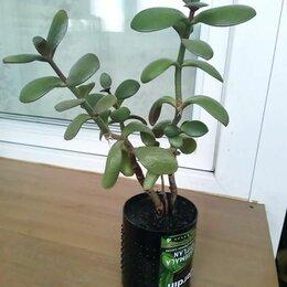 Комнатные растения - Денежное дерево, 0