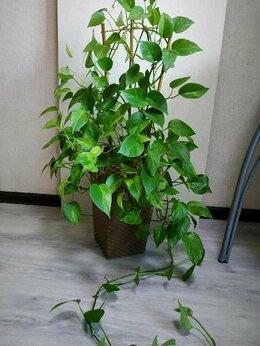 Комнатные растения - Эпипремнум Марбл Куин, 0