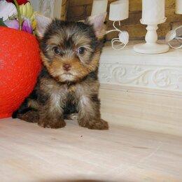Собаки - Щенки йоркширского терьера., 0