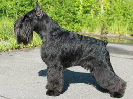 Собаки - Продается щенок цвергшнауцера, 0