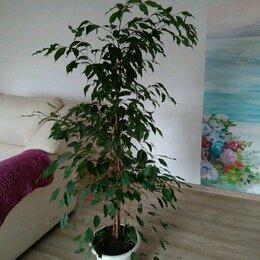 Комнатные растения - Комнатные цветы Крупномеры, 0